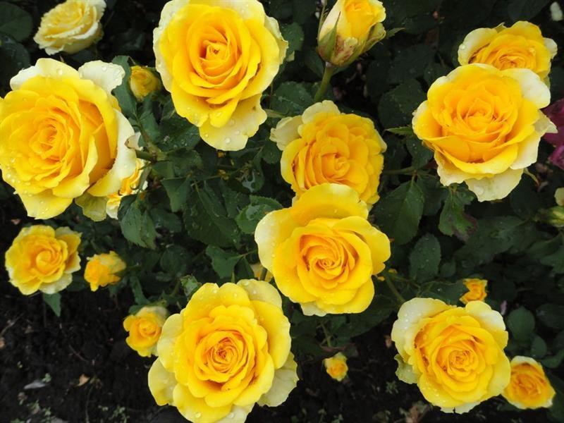 Пунцовые розы букет фото
